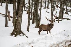 Wapiti łosia jeleni czekanie na stronie droga Obraz Stock