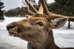 Wapiti łosia jeleni czekanie w Parc omedze chce jego marchewki Obraz Royalty Free