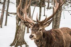 Wapiti łosia jeleni odprowadzenie w lesie Obraz Royalty Free