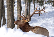Wapiti portrait Royalty Free Stock Image