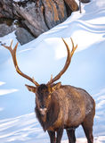 Wapiti posing in front of rock cliff. 1 Royalty Free Stock Photography