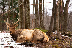 Wapiti Resting Stock Photo