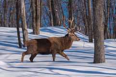Wapiti walking the wood in winter Royalty Free Stock Photos