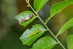 Wapna błonia i motyla mormonu gąsienicy obrazy royalty free