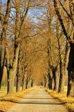 Wapna drzewa aleja Zdjęcie Royalty Free
