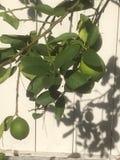 Wapna Drzewo zdjęcia royalty free