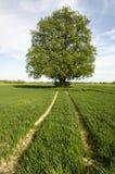 Wapna drzewo Zdjęcie Royalty Free