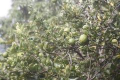 Wapna Drzewo Zdjęcie Stock