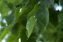 Wapna drzewo opuszcza zbliżenie Znakomita tapeta na twój desktop zdjęcia stock