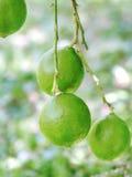 Wapna drzewo z owoc, zbliżenie Obraz Royalty Free
