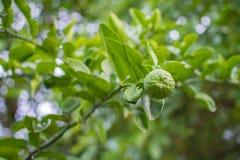 Wapna drzewo z Owocowym zbliżeniem Obraz Royalty Free