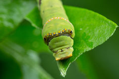 Wapno Caterpillar Borneo Fotografia Royalty Free