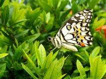 Wapno motyl zdjęcie royalty free