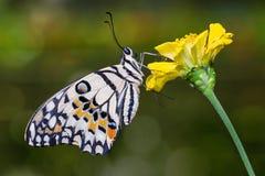 Wapno motyl na kwiacie zdjęcie stock
