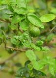 Wapno zieleni drzewny obwieszenie od gałąź Zdjęcie Royalty Free