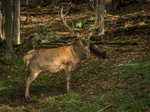 Waptiti looking a the camera while passing in the woods royalty free stock photo