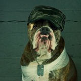 War hero dog Stock Images