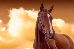 War Horse. Brown horse on a background of golden sunset Stock Image