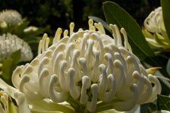 Waratah blanc Photo libre de droits