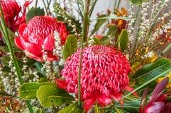 Waratah bonanza. Impressive red waratah blooms in a stunning visual display at the Waratah Festival in Blue Mountains at Mount Tomah botanic garden Stock Photo
