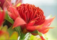 Waratah flower. Beautiful red Waratah fllower in spring Royalty Free Stock Photo
