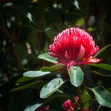 Large Red Waratah Wildflower on a sunny day. Waratah is a native Australian genus of large shrubs or small trees with large flowers of bright red color. Here Stock Photos
