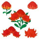 Waratah ou Telopea, fleur indigène australienne de buisson illustration libre de droits
