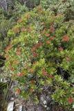 Waratah tasmanien buisson, truncata de Telopea Photographie stock libre de droits