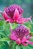 Waratah (Telopea ?Schaduwrijke Dame?) twee bloei Royalty-vrije Stock Foto
