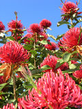 Waratah Tree. Australian Waratah tree in flower