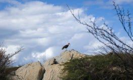 Warawararoofvogels in Aruba Stock Fotografie