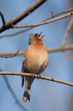 Warble bird. Chaffinch bird warble on a tree twig Stock Photography