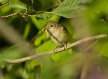 Warbler вербы с гусеницей Стоковая Фотография