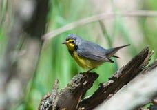 warbler Канады Стоковое Изображение