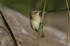 warbler осоки стоковая фотография rf