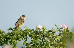 warbler осоки schoenobaenus acrocephalus Стоковые Изображения