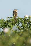 warbler осоки schoenobaenus acrocephalus Стоковое Изображение RF