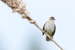 warbler осоки schoenobaenus acrocephalus Стоковые Изображения RF