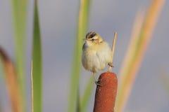 warbler осоки schoenobaenus acrocephalus Стоковые Фотографии RF