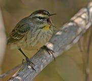 warbler петь ладони стоковая фотография rf
