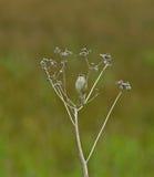 warbler петь осоки Стоковое Изображение