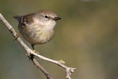 warbler сосенки Стоковое Изображение