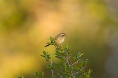 warbler ый bush малый Стоковое фото RF