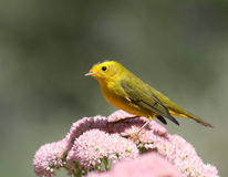 Warbler Royalty Free Stock Photo