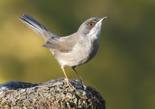 warbler Royalty Free Stock Image