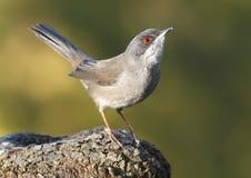 warbler Royalty Free Stock Image