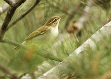 warbler Стоковая Фотография