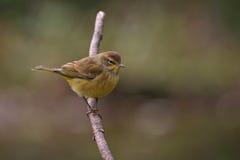 warbler ладони Стоковое фото RF