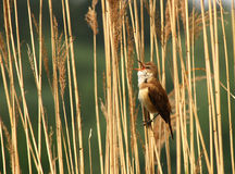 Warbler. A Great Reed Warbler singing stock photo