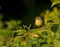 warbler Стоковые Изображения